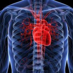 Ученые учатся «перепрограммировать» клетки кожи для «ремонта» сердца